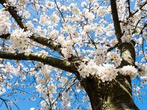 White cherry blossoms against blue sky royalty free stock photography
