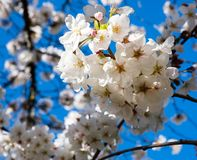 White cherry blossoms against blue sky stock image