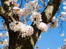 White cherry blossoms against blue sky royalty free stock photos