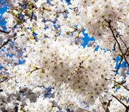 White cherry blossoms against blue sky. Cherry trees blossoming at university campus - Seattle, WA, USA royalty free stock photos