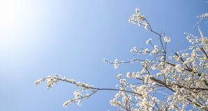 White spring blossom royalty free stock image
