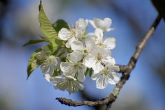 White cherry blossoms stock image