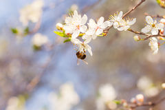 White cherry blossoms and a bee Stock Photos