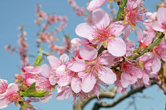 White cherry blossoms bloom Royalty Free Stock Photography