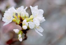 White Cherry Blossoms in Bloom Close-up Photo Royalty Free Stock Photos