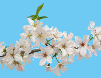 White Cherry Blossoms Blooming in Springtime Royalty Free Stock Photos