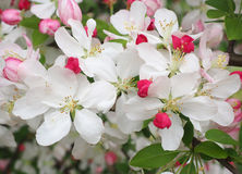 White Cherry Blossoms Blooming in Springtime Stock Photos