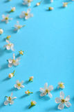 White cherry blossoms Stock Photography