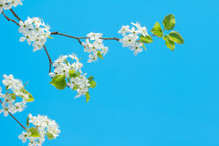 White cherry blossoms on blue Royalty Free Stock Image