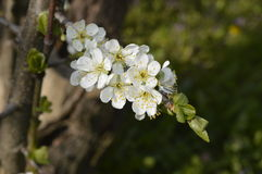 White cherry blossoms. Boleslawiec, Poland - White cherry blossoms Royalty Free Stock Photos