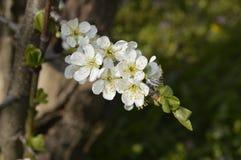 White cherry blossoms. Boleslawiec, Poland - White cherry blossoms royalty free stock photos