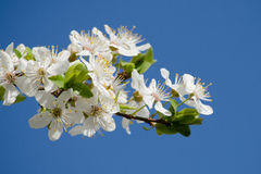 White cherry blossoms Stock Photos