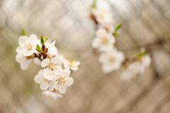 White cherry blossoms on branch against metal grid selective foc Stock Photo