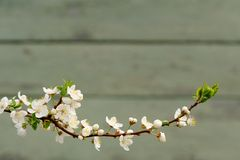 White cherry blossoms on branch against painted wall copyspace Royalty Free Stock Image