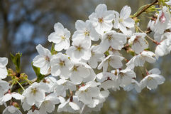 White cherry blossoms. Branch with white blossoms in sunshine Royalty Free Stock Photography