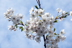 White cherry blossoms. Branch of a cherry tree with white blooms Royalty Free Stock Photo