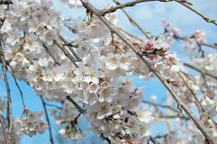White cherry blossoms on branches. With blue sky as background Royalty Free Stock Photos