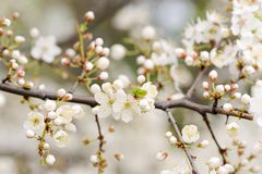 White cherry blossoms and buds on branch Stock Images