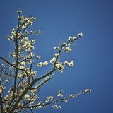 White Cherry blossoms in clear sky. Stock Photos