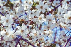 White cherry blossoms close-up. Abstract background. Royalty Free Stock Image