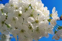 White cherry blossoms close-up on a tree branch. Springtime. Outside the house Stock Images