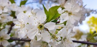 White cherry blossoms close-up on a tree branch. Springtime. Outside the house Royalty Free Stock Photography