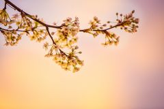 White Cherry Blossoms in Closeup Photography Stock Photography