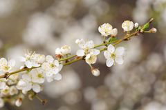 White cherry blossoms on diagonal branch Stock Photography