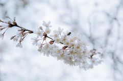 White cherry blossoms in early spring, Cerasus Serrulata stock images