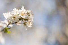 White cherry blossoms. Flower background Stock Photo