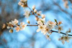 White cherry blossoms flower on a spring day in nature. Close up, selective focus. Spring and nature concept image Stock Photo