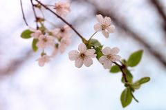 White cherry blossoms flowers with leaves. Beautiful white cherry blossoms flowers with leaves on the tree with blooming background stock image