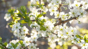 White cherry blossoms in full bloom in slow motion stock video