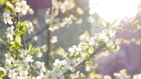 White cherry blossoms in full bloom in slow motion stock footage