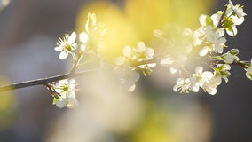 White cherry blossoms in full bloom in slow motion. White cherry blossoms in full bloom sun stock footage
