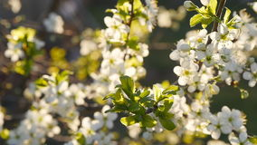 White cherry blossoms in full bloom in slow motion stock video footage