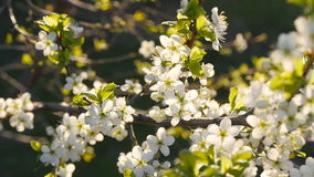 White cherry blossoms in full bloom in slow motion. White cherry blossoms in full bloom sun stock video