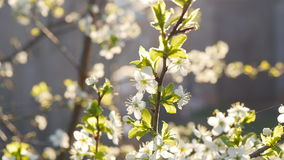 White cherry blossoms in full bloom in slow motion. White cherry blossoms in full bloom sun stock video footage