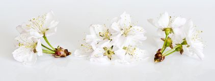 White cherry blossoms on light gray background Royalty Free Stock Photography