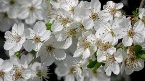 White cherry blossoms in the park. In nice sunny weather stock video footage
