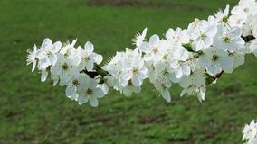 White cherry blossoms in the park. In nice sunny weather stock video