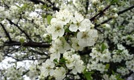 White Cherry Blossoms with Raindrops Royalty Free Stock Image