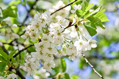 White cherry blossoms. In spring Stock Photo