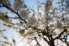 Cherry blossom in spring. White cherry blossoms in spring against a clear sky Royalty Free Stock Photo