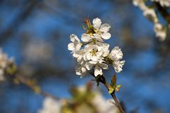 White cherry blossoms in spring. Blue sky royalty free stock photos