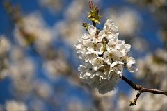 White cherry blossoms in spring. Blue sky stock photo