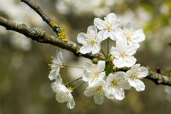 White cherry blossoms in the spring. Stock Images