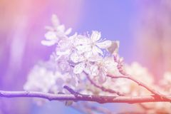 White cherry blossoms in spring sun with sky background Royalty Free Stock Images