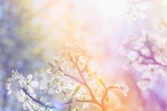 White cherry blossoms in spring sun with sky background Royalty Free Stock Photos