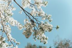 White cherry blossoms in spring sun with blue sky stock image